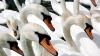В Великобритании начинается традиционная перепись лебедей на Темзе