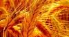 Сельхозпроизводители: Экспорт зерновых монополизирован