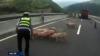 Стадо свиней парализовало движение в Китае