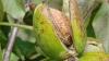В Глодянском районе люди платят за право сбивать орехи с деревьев на обочинах дорог