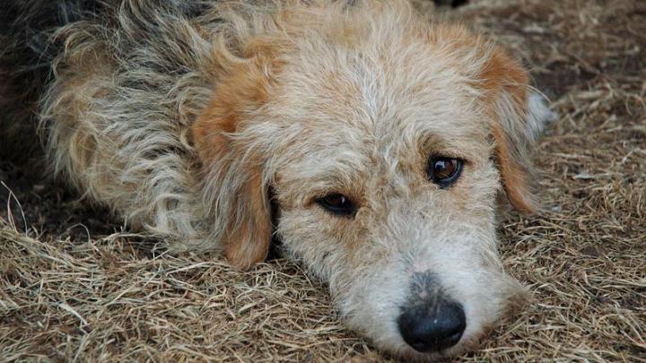 КС Румынии одобрил усыпление бродячих собак