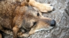 В Вадул-луй-Водэ бездомных собак стерилизуют, более агрессивных - усыпляют