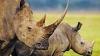 Рога кенийских носорогов модернизируют электроникой
