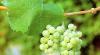 В стране почти не производят вино из винограда молдавских сортов