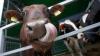 В селе София, где на днях от бешенства погибла корова, не проводили вакцинацию домашних животных