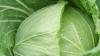 Ученые: Капуста спасет от радиации
