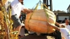 В Калифорнии прошел конкурс самых больших бахчевых культур