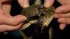 Ученые раскрыли тайну трехглазого краба из Новой Зеландии