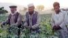 В Афганистане собрали рекордный урожай опийного мака