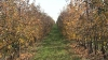Фермер из Единец выращивает яблоки и отправляет их на экспорт в Европу