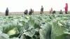 В Сынжерейском районе планируют построить агропромышленный парк