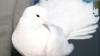 (ВИДЕО) Свыше пяти тысяч голубей стали участниками специализированной ярмарки в Бельцах
