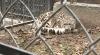 Самцы бенгальского тигра и снежного барса пополнили коллекцию животных столичного зоопарка