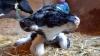 В Марокко родился двухголовый теленок