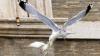 В Ватикане голубей-символов мира на Украине атаковали чайка и ворон