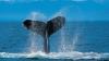 В Исландии сварили пиво из китов