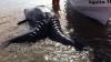 Экологи нашли в Мексике сиамских близнецов серого кита