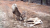 Девять оленей погибли в Кэприянском лесу из-за бешенства