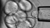 Японские ученые превратили клетки взрослого организма в эмбриональные