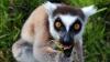 Мадагаскарским лемурам грозит исчезновение