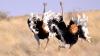 В Сорокском районе фермер выращивает страусов