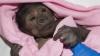 Детеныша гориллы спасли при помощи уникальной операции
