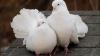 В Дурлештах прошла выставка-продажа голубей и декоративных птиц