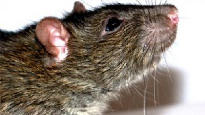 Гигантская крыса держала в страхе семью в Швеции