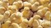 В Кишиневе начали продавать цыплят, покупатели недовольны розничными ценами на птицу