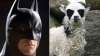 Ягненок-«бэтмен» родился в Норвегии