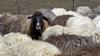 Хозяин пансионата вблизи Страшен построил на территории комплекса загон для овец