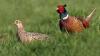 Ассоциация охотников Сынжерейского района выпустила в лес более 300 фазанов