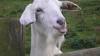 Городские жители выращивают птицу, кроликов и даже коз