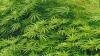 Нью-Йорк стал 23-м штатом США, где легализировали марихуану
