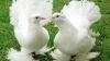 В Оргееве открылась выставка редких пород голубей