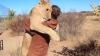 Львы тоже хотят обниматься (ВИДЕО)