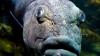 Гигантский морской окунь проглотил акулу целиком (ВИДЕО)