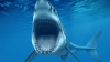 Акулам нравится питаться оптоволоконным подводным кабелем Google (ВИДЕО)