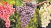Урожай столового винограда в этом году составит, как и в прошлом, примерно 100 тысяч тонн