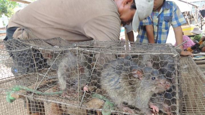 Камбоджа наращивает экспорт мяса серебристобрюхих крыс