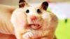 Домовитый хомячок собирает разбросанные по столу конфеты в коробку (ВИДЕО)