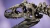 Ученые нашли скелет одного из самых крупных динозавров