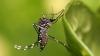 В Бразилии выпустили рой комаров, зараженных полезной бактерией для борьбы с лихорадкой Денге