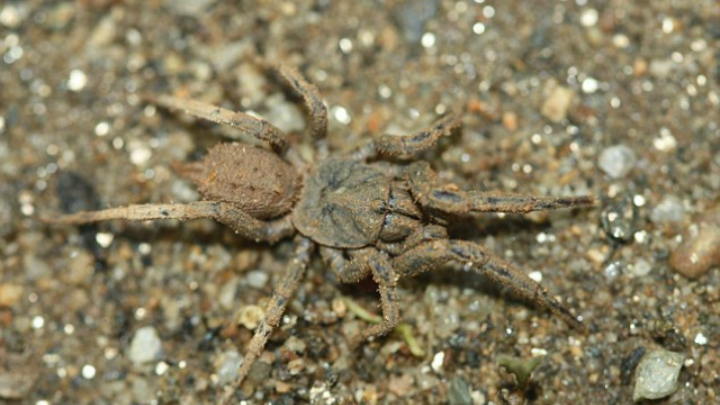 В Мексике обнаружили пауков-маскировщиков в грязи