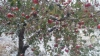 Фермеры: Если власти не отреагируют, отрасли грозит банкротство, а яблоневые сады могут быть вырублены