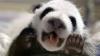 В китайском зоопарке впервые показали широкой публике девять детенышей панд