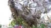 В селе Мошены Рышканского района около 90% клёнов поражены гусеницами