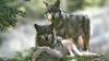 Всего в 60 километрах от Парижа обнаружены волки