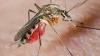 В Дании обнаружены комары-переносчики лихорадки Западного Нила