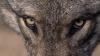 Жители села Глинжены: уже несколько недель стая волков нападает на их животных
